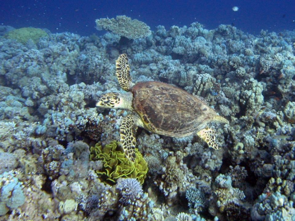 hawksbill-turtle-nina-milton