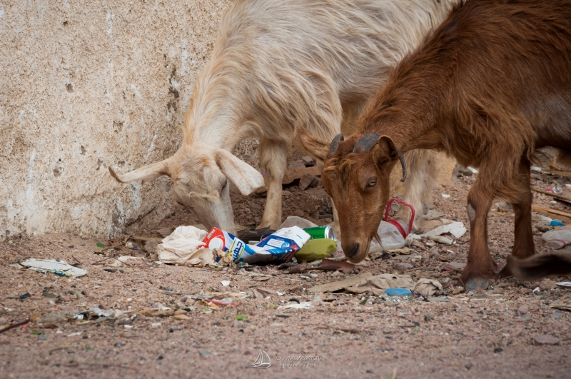 Goats eating garbage