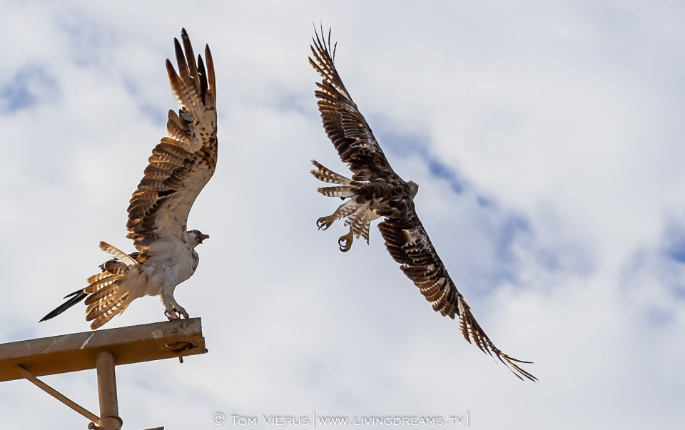 Ospreys fighting for their pole