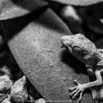 Egyptian sand gecko found in my garden   Dahab – Egypt