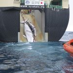 Victory for the whales – ICJ halts Japan's whale hunt