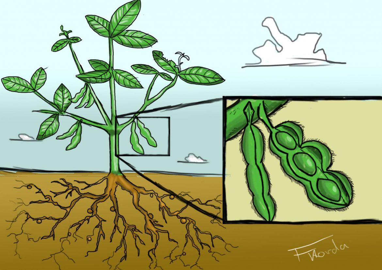 Soybean Plant Stock Illustrations  715 Soybean Plant
