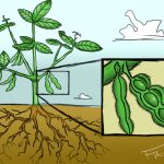 Miracle plant SOYBEANS – what is it, how does it look and what is it good for?
