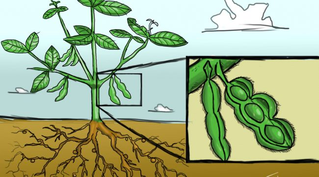 Soybean Morphology Illustration