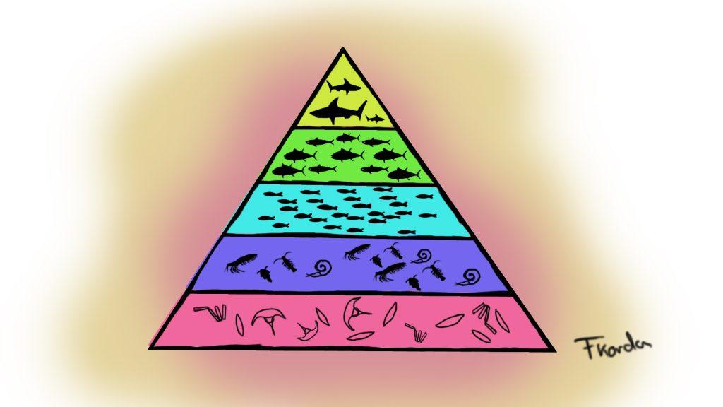 Die marine Nahrungspyramide.