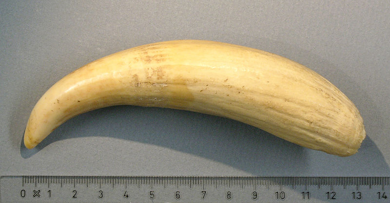 800px-Sperm-whale-tooth_hg