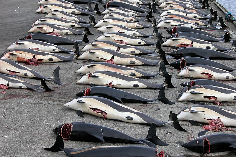 Jedes Jahre sterben unzählige Wale auf den Färöer Inseln im Namen einer brutalen Tradition. Quelle: http://commons.wikimedia.org/wiki/File:Whaling_in_the_Faroe_Islands.jpg?uselang=de