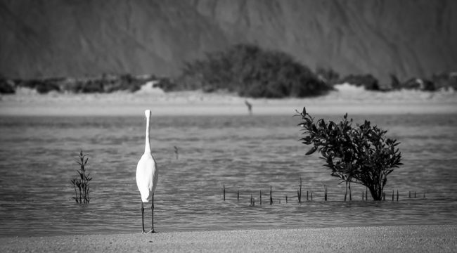 White Heron in the Nabq Area, Sinai, Egypt