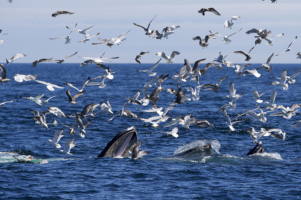 Fressende Buckelwale. Quelle: http://commons.wikimedia.org/wiki/Category:Whales#mediaviewer/File:Four_Humpbacks_Feeding_AdF.jpg