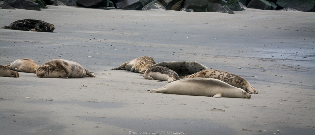 "A group of seals hauling omshore on the ""dune""."