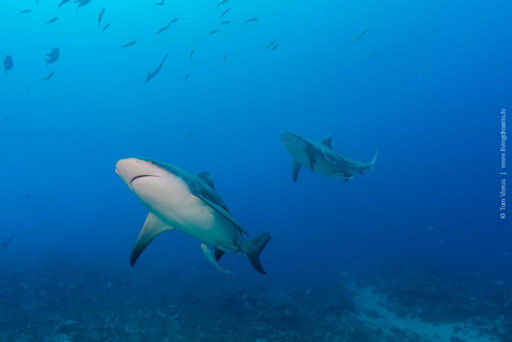 Beqa Adventure Divers Fiji - Bull Sharks-1