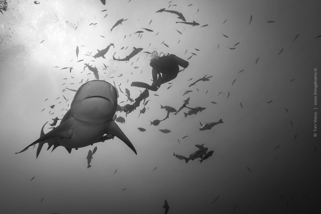 Beqa Adventure Divers Fiji - Bull Sharks-2