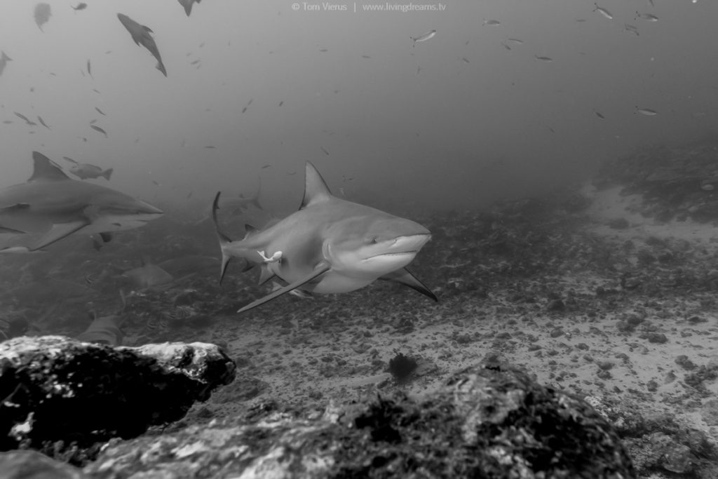 Beqa Adventure Divers Fiji - Bull Sharks-3