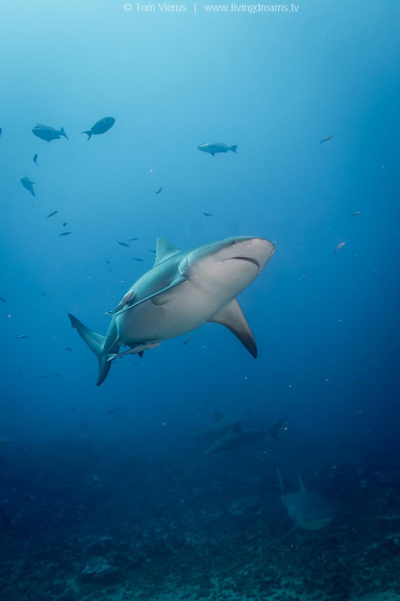 Bull Sharks in Fiji - Diving the Shark Reef Marine Reserve