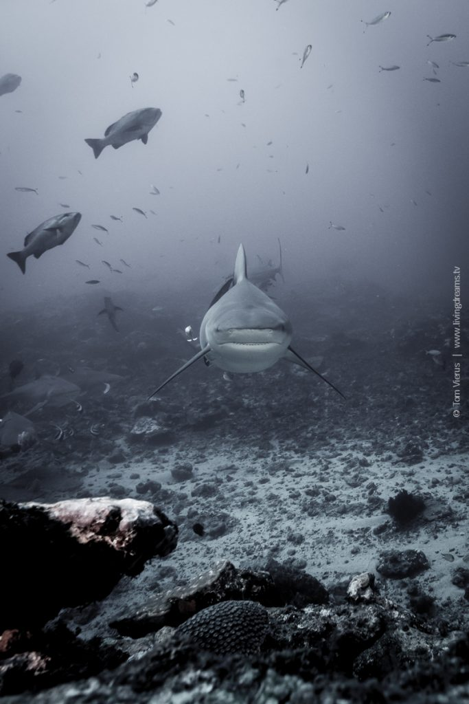 Beqa Adventure Divers Fiji - Bull Sharks