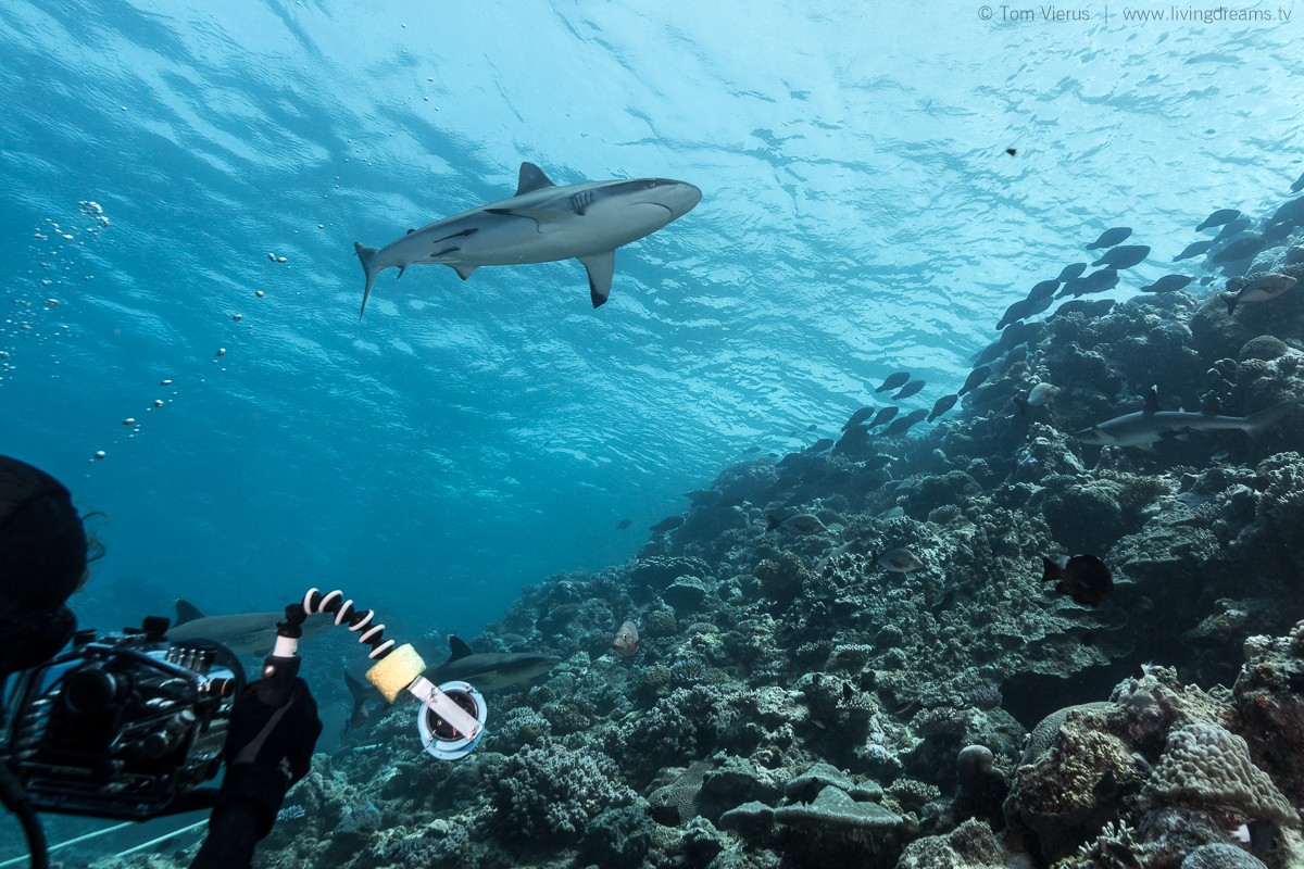 Bull Sharks in Fiji - Diving the Shark Reef Marine Reserve with Beqa