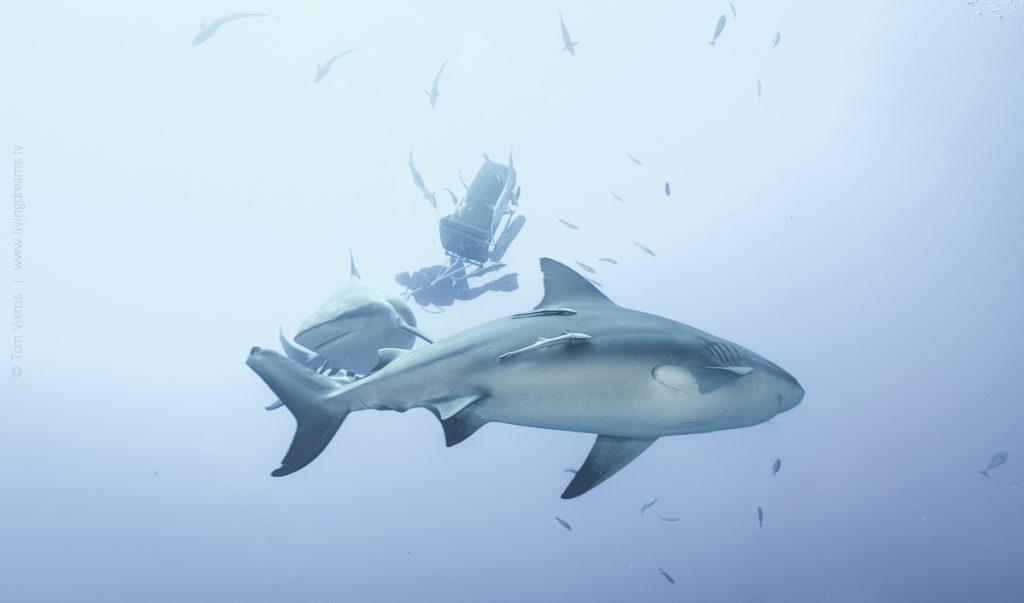 Beqa Adventure Divers Fiji - Feeding Bull Sharks, Beqa Adventure Divers