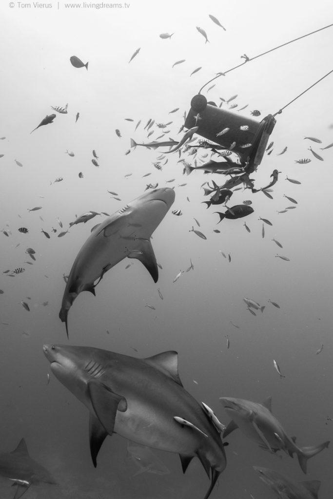 Beqa Adventure Divers Fiji - Feeding Bull Sharks-2