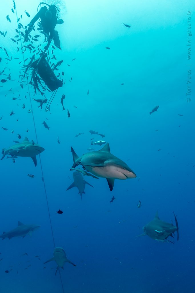 Beqa Adventure Divers Fiji - Feeding Bull Sharks