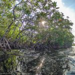 What are mangrove forests?