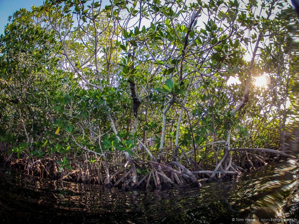 Mangroves in Everglades, Florida (USA)