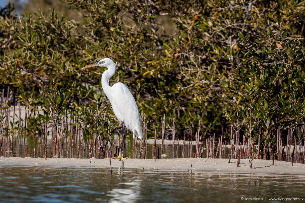 White Heron within Mangroves of Nabq, Egypt, Sinai