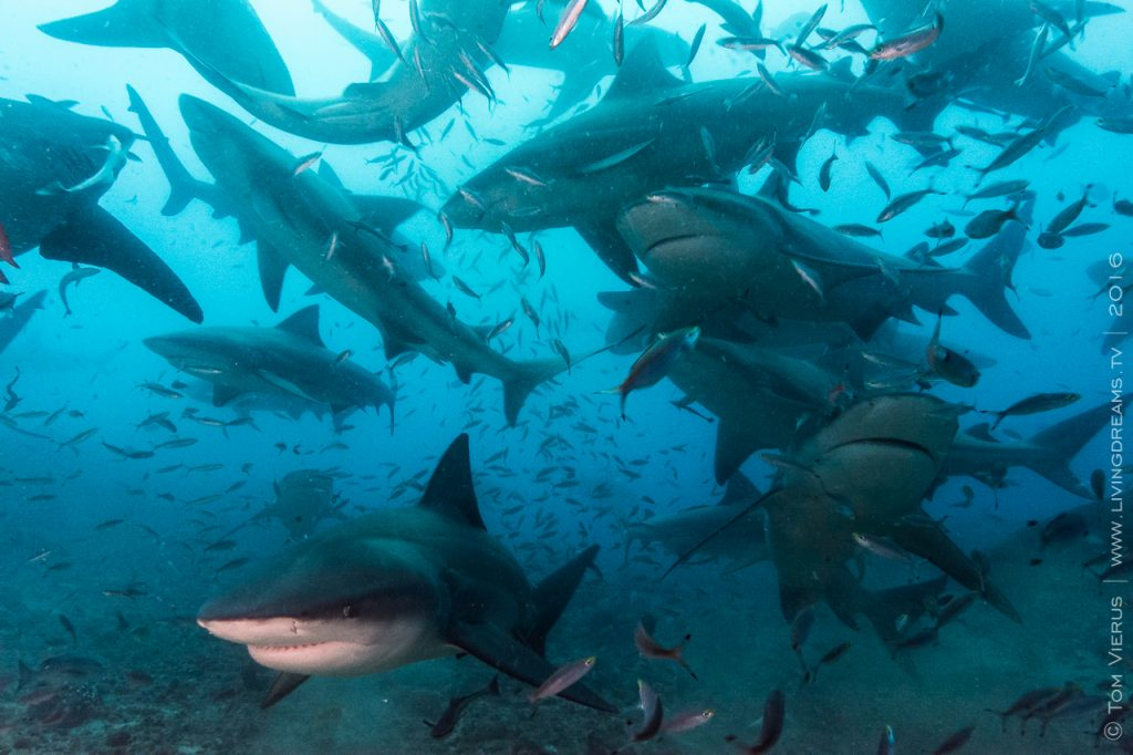Crazy Bull Shark (Carcharhinus leucas) Action in Fiji