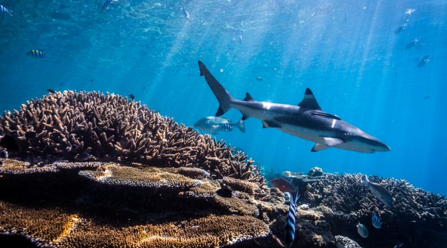 Blacktip Reef Shark in the Shark Reef Marine Reserve, Fiji