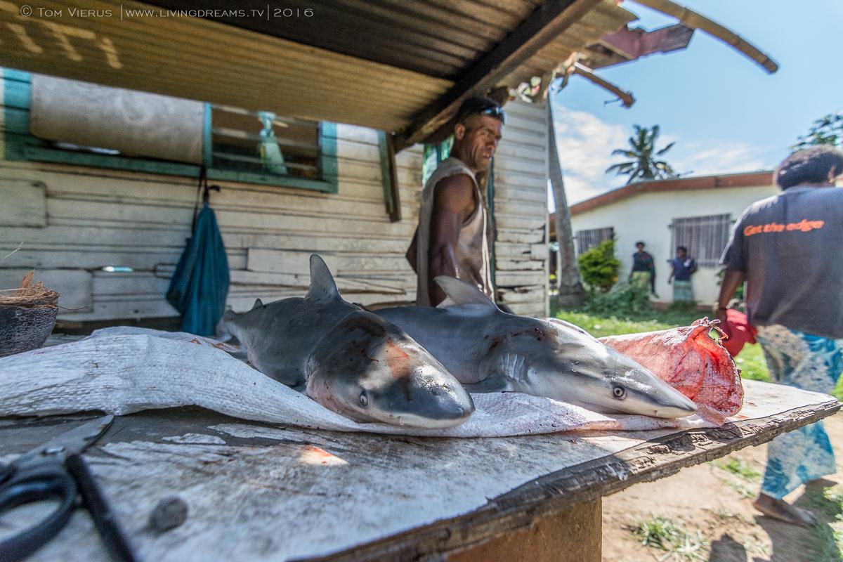 Carcharhinus leucas, Bull Shark, Fiji, Fishing, River