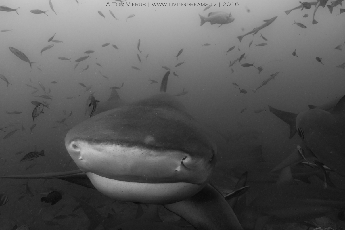 Sharks, Beqa, Beqa Adventure Divers, BAD, Underwater, Marine Protected Area