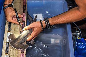 Shark Nursery Project, Fiji – Update III – Preliminary results