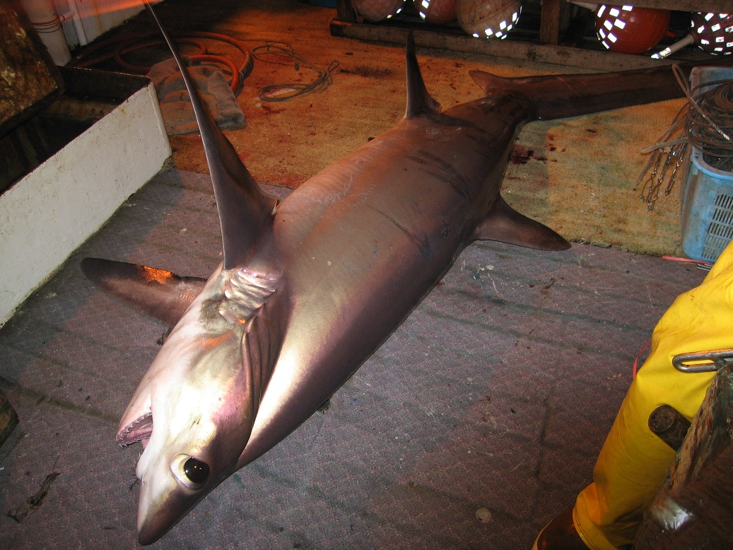A bigeye tresher shark caught during Iongline operations. Image by the NOAA Observer Program