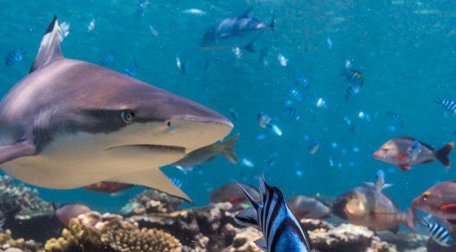 Sharks, Blacktip Reef Shark, Fiji, EEA 2016