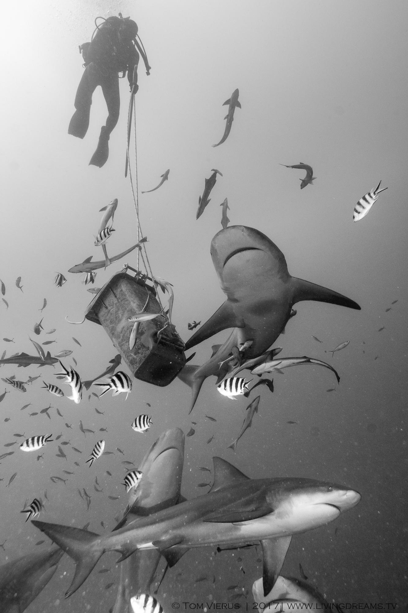 Bull sharks, Diving, bin, pacific ocean, beqa