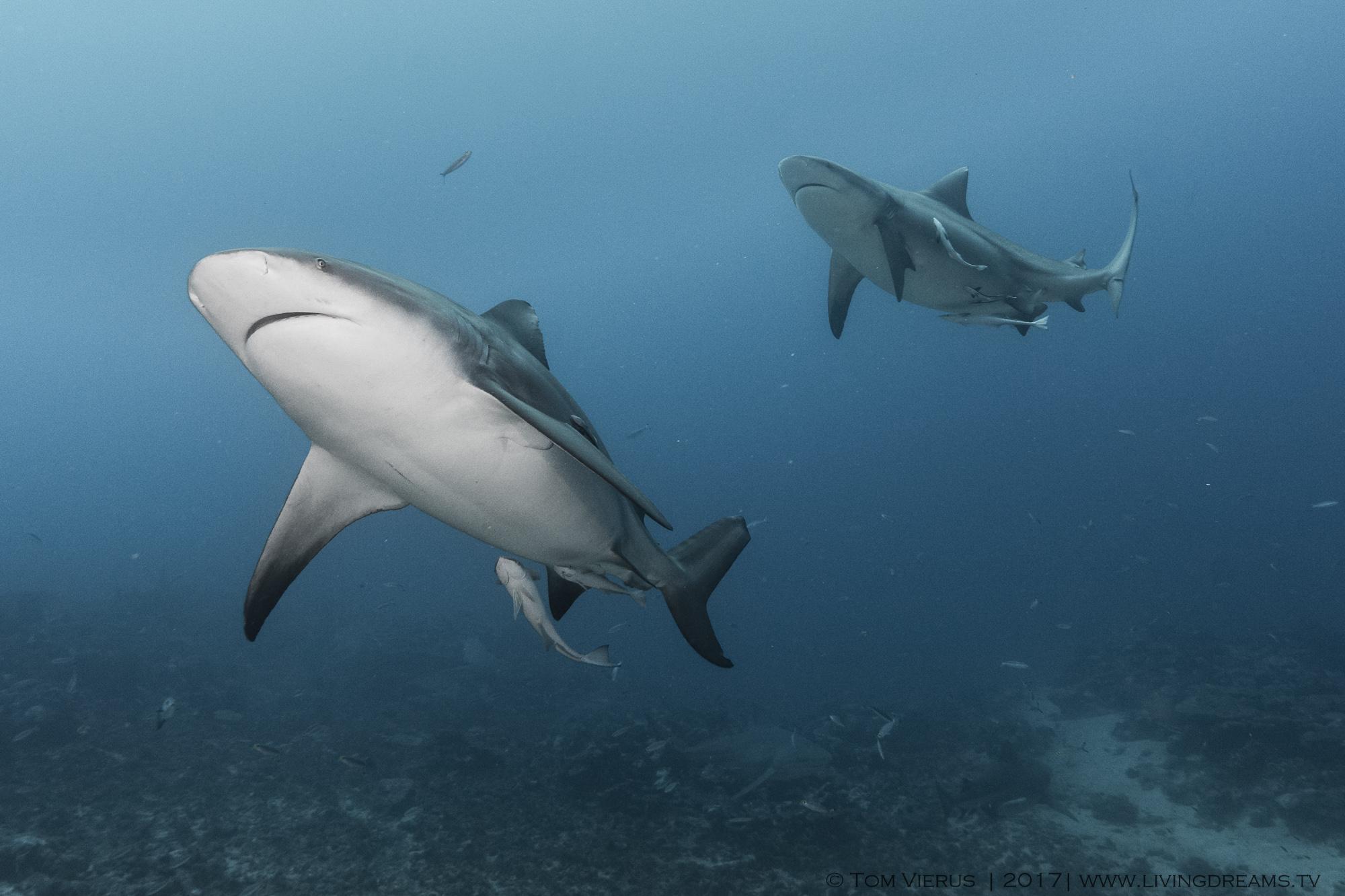 bull sharks, fiji, Pacific, ocean, c. leucas