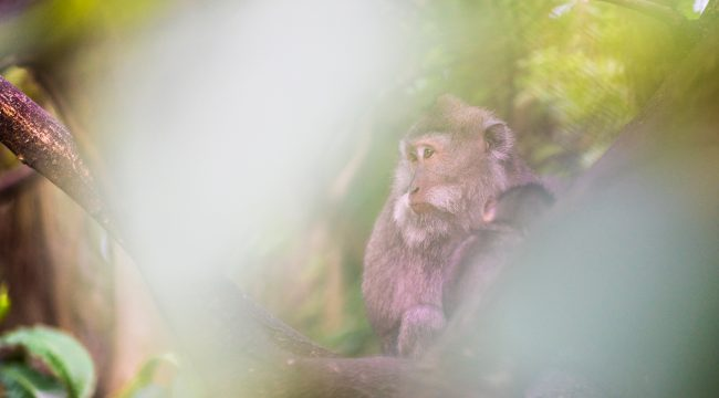 Monkey Forest, Monkey, Long-tailed Macaque, 2017, Photography, Ubud
