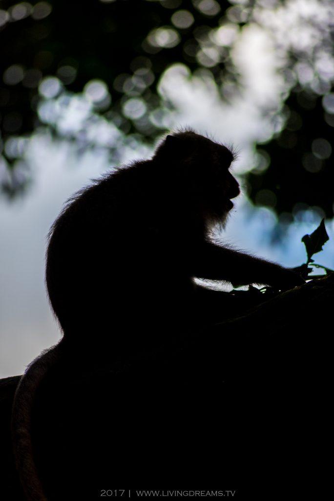 Monkey, Long-tailed Macaque, 2017, Photography, Ubud