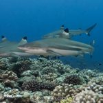 Sharks and whales around Moorea | French Polynesia