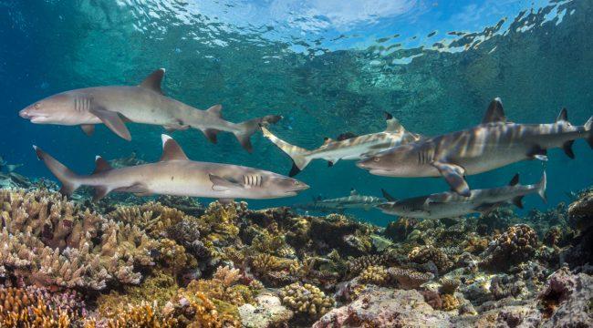 Fiji Shark Diving, Pacific, Photography, Sharks