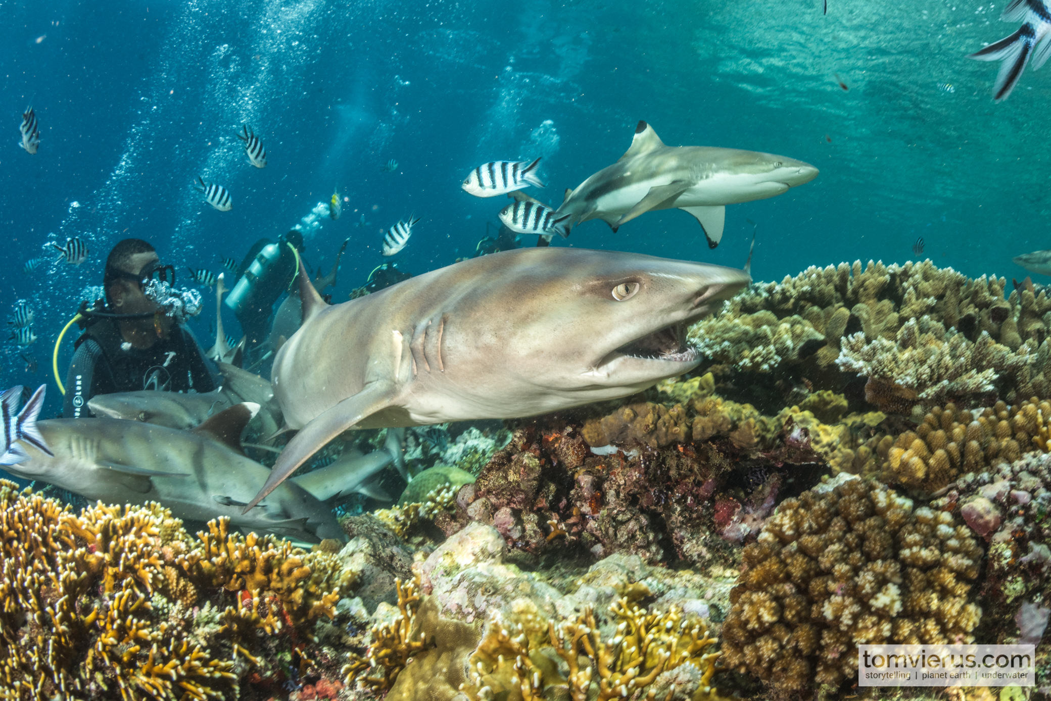 Fiji Shark Diving, Pacific, Photography, Sharks