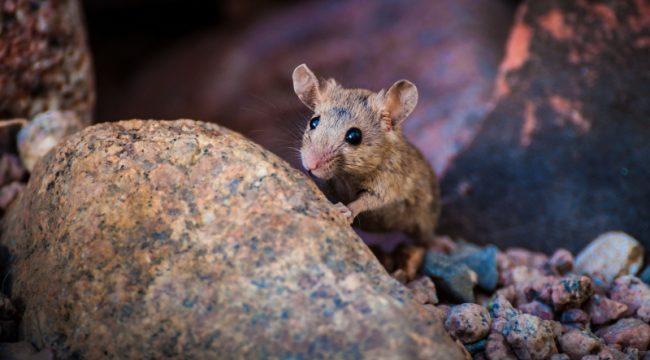 Curious Mouse, Dahab (Egypt)