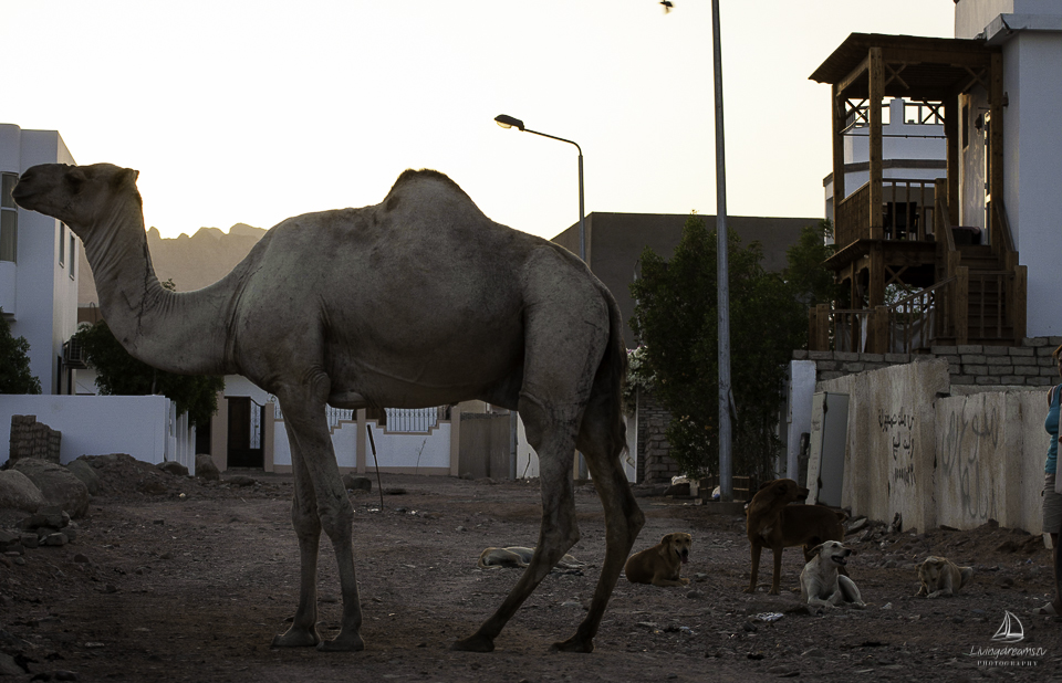 lonely_camel_1