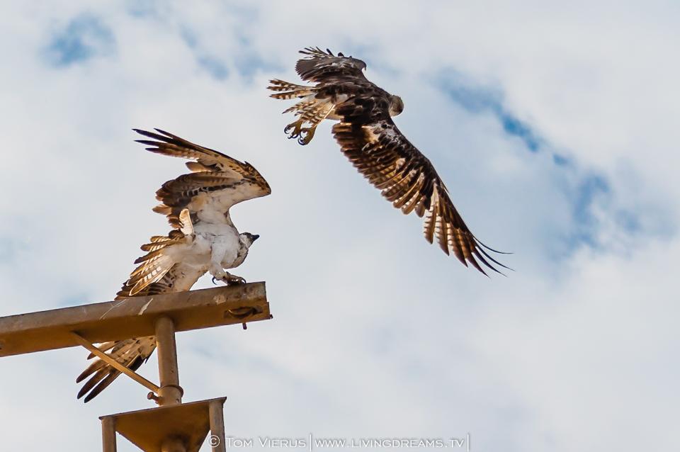 Ospreys fighting