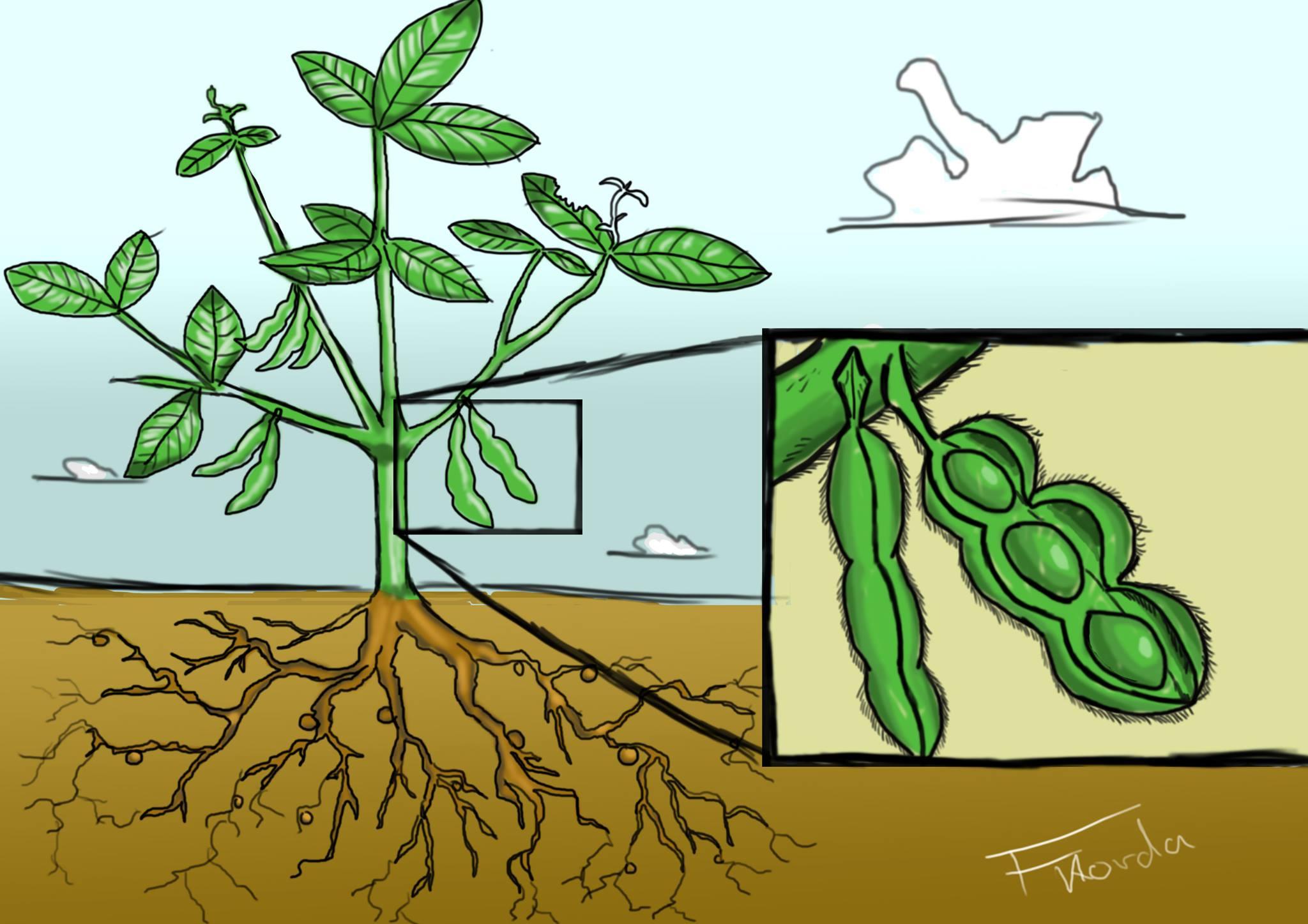 soybeans felix korda