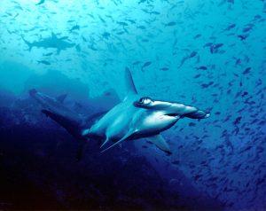 Auch bizarre Formen wie die des Hammerhais hat die Evolution hervorgebracht. Quelle: https://commons.wikimedia.org/wiki/File: Hammerhead_shark,_Cocos _Island,_Costa_Rica.jpg?uselang=de