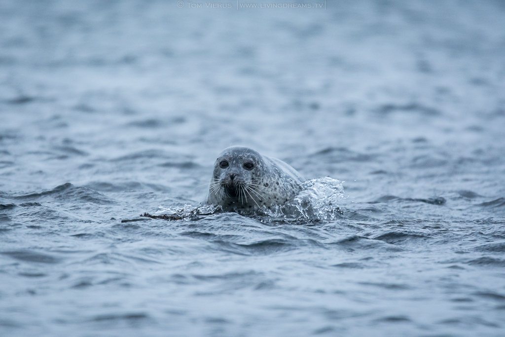 Helgoland Seal