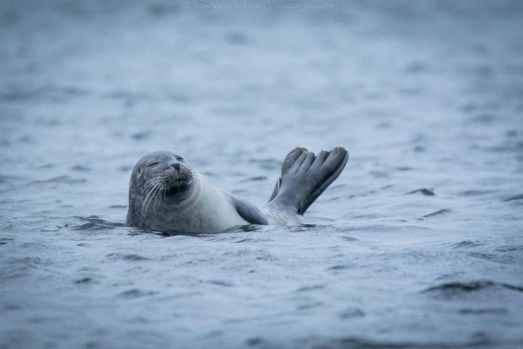 Helgoland Seals