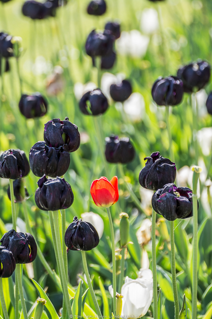 Red Tulip in between black tulips