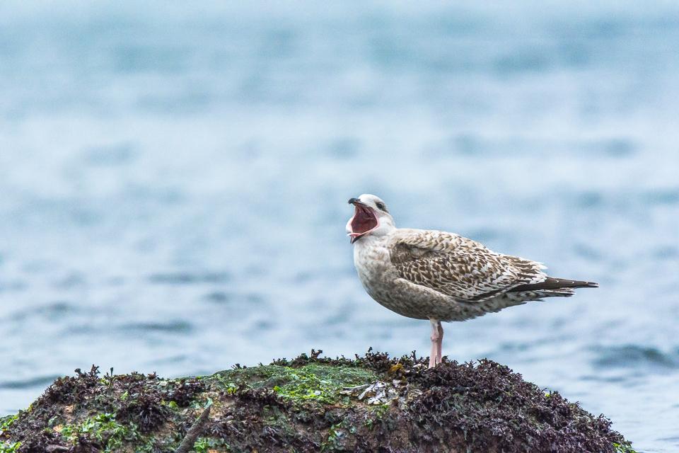 Yawning seagull on helgoland