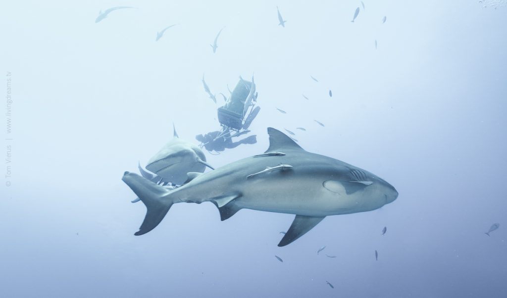 Beqa Adventure Divers Fiji - Feeding Bull Sharks, Beqa Adventure Divers